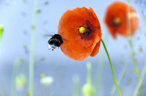 Bumblebee likes the poppy von Thomas Anton Stribick