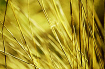 Golden grass von Thomas Anton Stribick