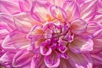 Chrysantheme Makroaufnahme von Astrid Steffens