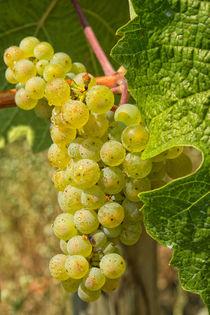 Weintrauben von Astrid Steffens