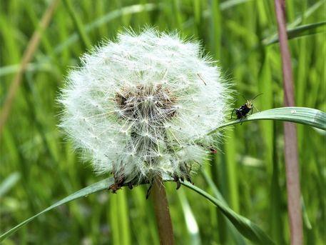 Koboldgrille-pusteblume-gross