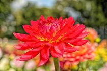 Chrysanthemen  von Astrid Steffens
