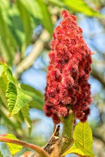 Essigbaum - Blüte von Astrid Steffens