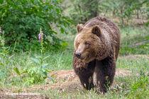 Braunbär im Wald  von Christoph  Ebeling