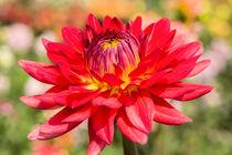 Chrysantheme von Astrid Steffens