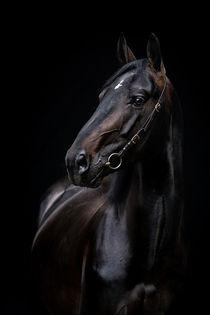Noir portrait of Rottaler stallion Monaco by Cécile Zahorka