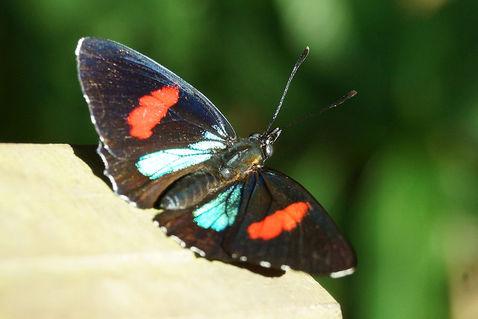 Schmetterling-callicore-hydaspes