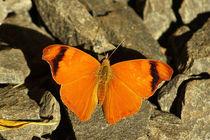 Butterfly Cystineura epiphile ottonis von Sabine Radtke