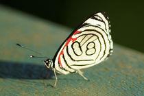 Butterfly Diaethria candrena candrena 2 von Sabine Radtke
