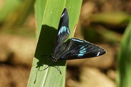 Schmetterling-diaethria-clymenaoberseite