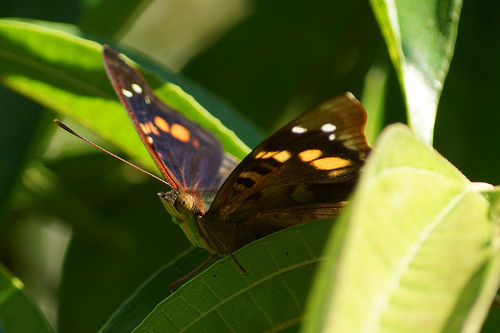 Schmetterling-doxocopa-agathina1