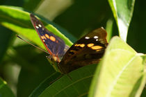 Butterfly Doxocopa Agathina von Sabine Radtke