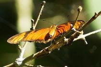 Butterfly Dryas iulia 2 von Sabine Radtke