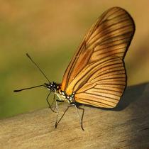 Butterfly Dryas iulia  by Sabine Radtke
