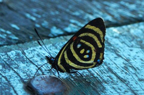 Schmetterling-dynamine-brome