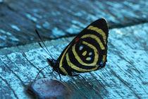 Butterfly Dynamine brome von Sabine Radtke