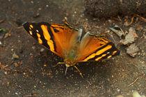 Butterfly Hypanartia lethe von Sabine Radtke