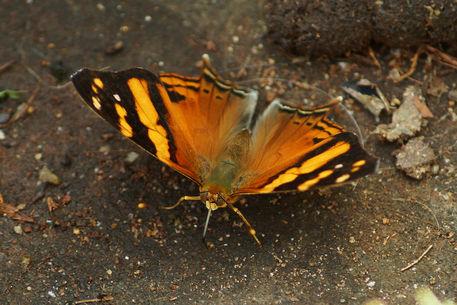 Schmetterling-hypanartia-lethe