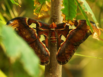 Very big butterfly Atlas moth (Attacus atlas) von Sabine Radtke