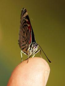 Butterfly Diaethria candrena candrena 3 von Sabine Radtke