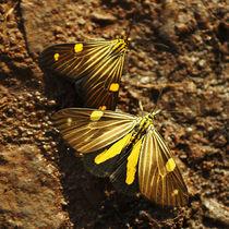 Butterfly Xenorma grandimacula von Sabine Radtke