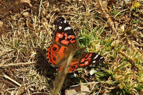Schmetterling-vanessa-braziliensis