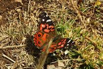 Butterfly Vanessa braziliensis von Sabine Radtke
