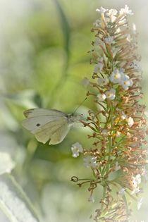 Kohlweißling an Blüte von Claudia Evans
