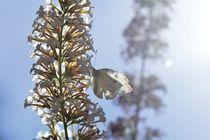 Kohlweißling  Schmetterling von Claudia Evans
