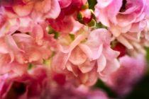 Rosa Blütentraum von Claudia Evans