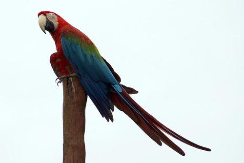 Gruenfluegelaravogelparkmarlow5