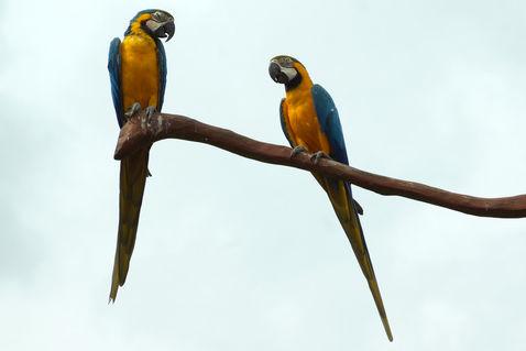 Gelbbrustarasvogelparkmarlow3