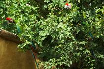 Zwei Soldatenaras in einem Baum by Sabine Radtke