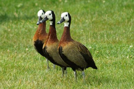 3witwenpfeifenten-vogelparkmarlow