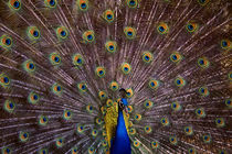 Peacock Display Close-up by Jim Corwin