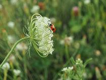 Glückskäfer auf einer Blüte von Christoph  Ebeling