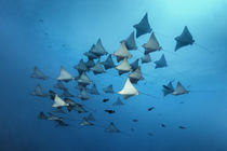 Gefleckte Adlerrochen im Vorbeiflug | Spotted Eagle Rays passing by by Norbert Probst