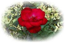 A lonely rose von feiermar