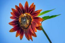 Feurige Sonnenblume von Christoph Hermann