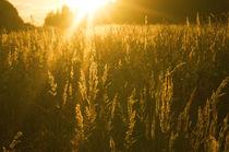 Golden Sunset Grass by Tanya Kurushova