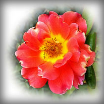 Rose in autumn by feiermar