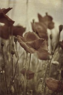 Klatschmohn by Claudia Evans