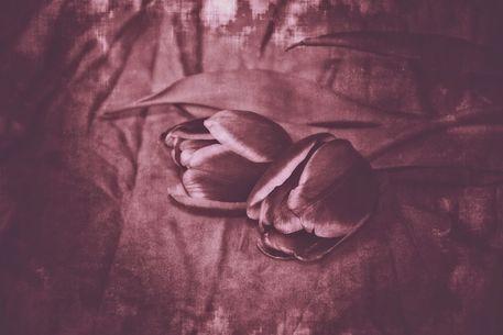 Tulpen2-c