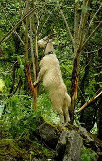 Ziege im Baum von Iris Heuer