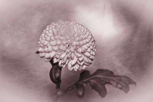 Zauberhafte-blute-pompon-dahlie-3-c