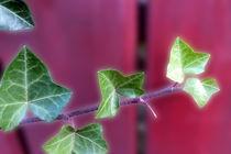 Ivy leaves by feiermar