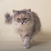 Sibirische Katze / 1 von Heidi Bollich