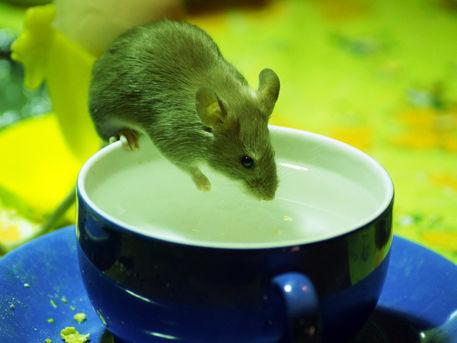 Maus-trinkt-austassezoorostock