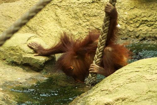 Orangutanjunges-trinktzoorostock
