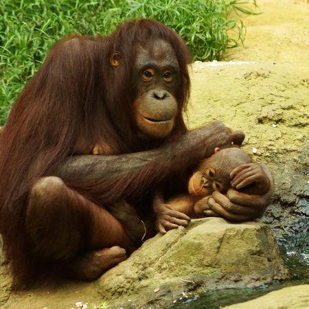 Oranguntanmutterkindzoorostockfreundlichkeit